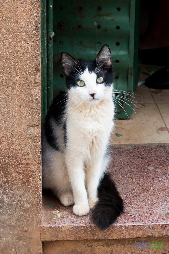 Black and white cat in Havana