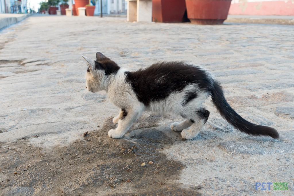 Tiny kitten in Cienfuegos