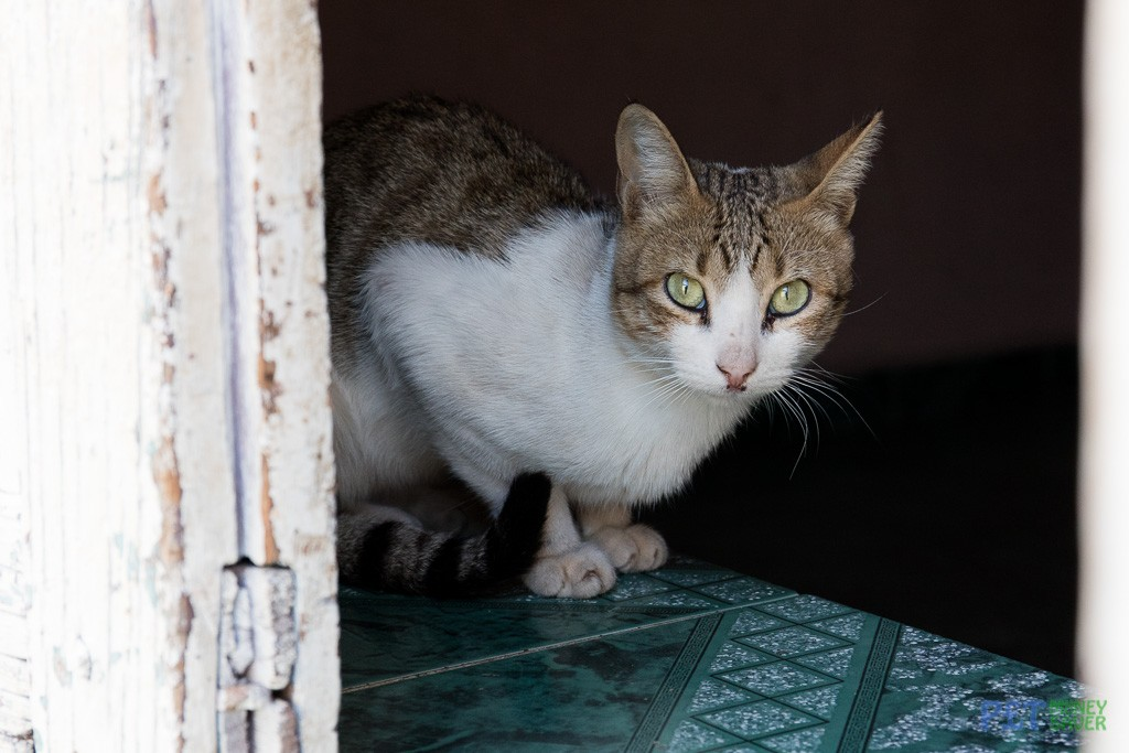 White and tabby cat watching from a doorway