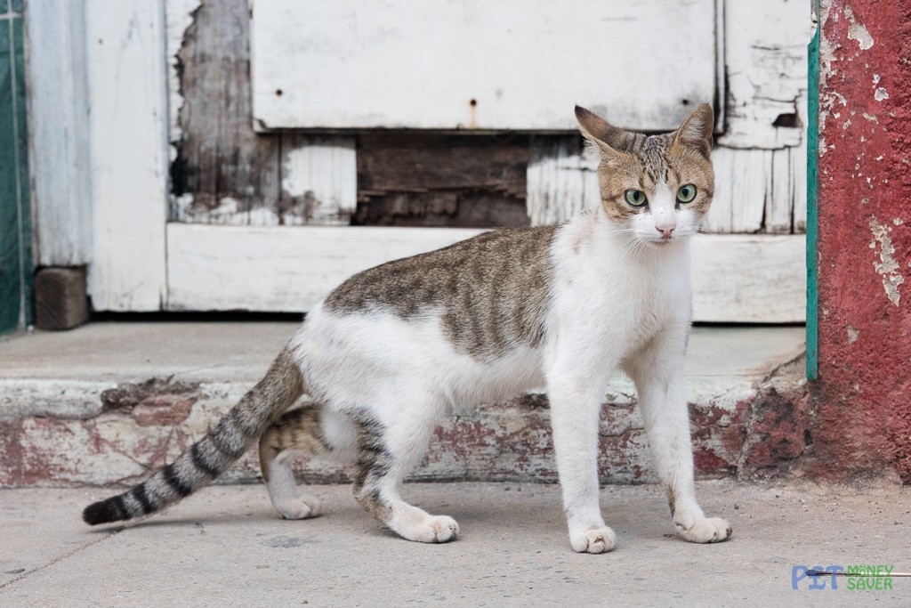 White and tabby cat looking alert