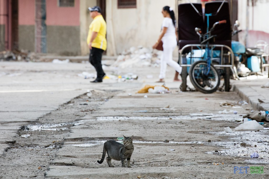 Grey tabby cat prowling Havana street