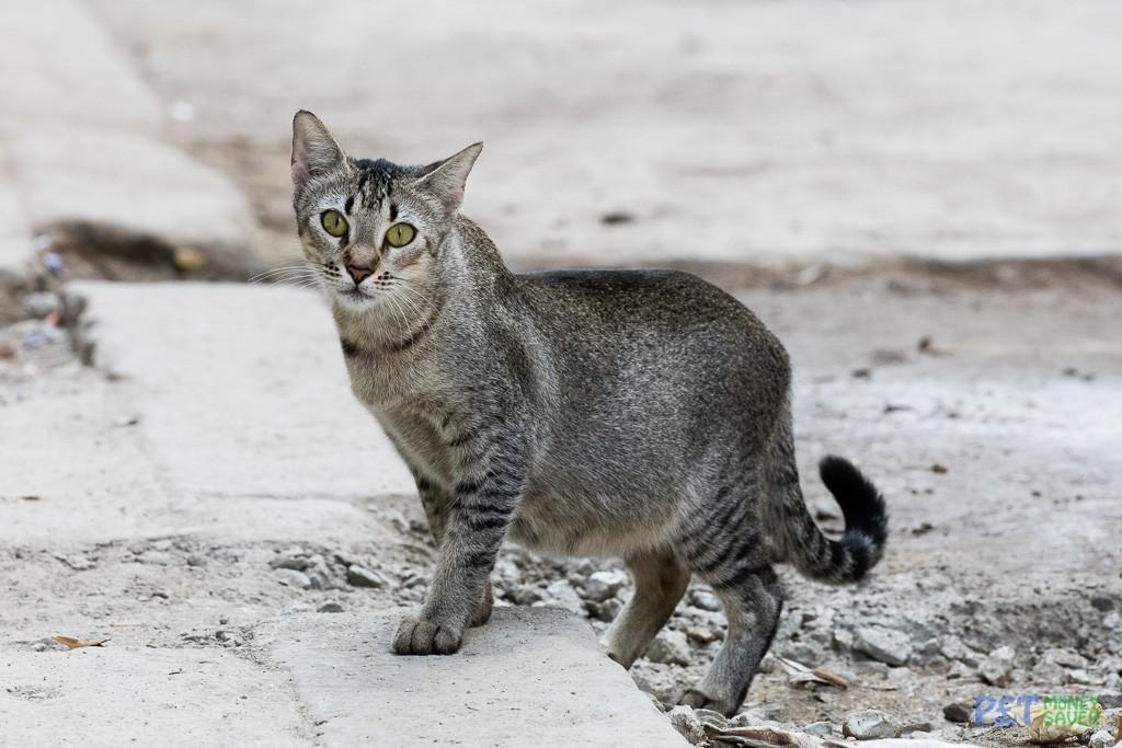 Grey tabby cat on Havana street