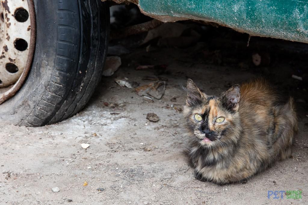 Tortoiseshell cat resting under abandoned car