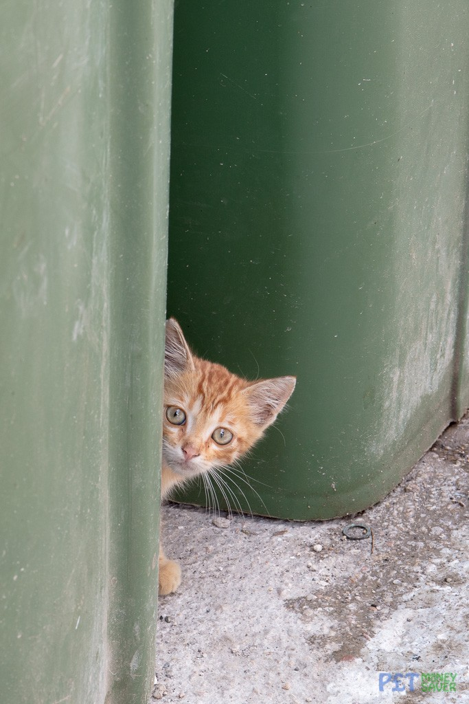 Cute ginger kitten peeks out from behind a green bin