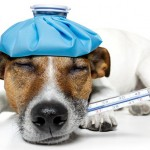 Recognising Fever in Dogs