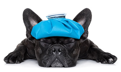 French Bulldog Expensive to Insure