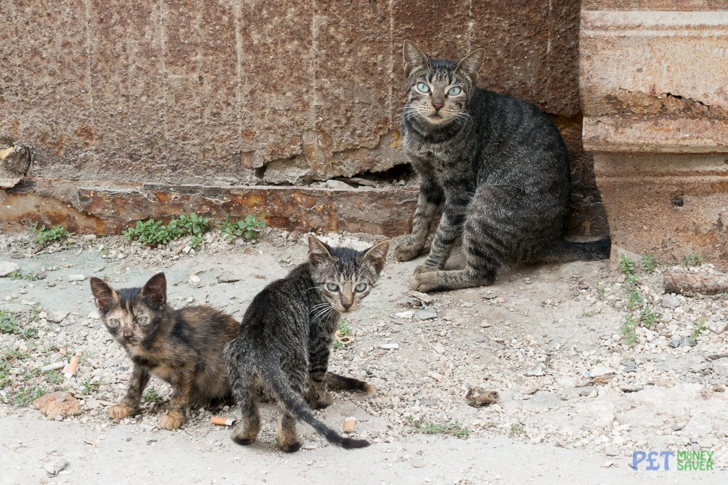 Mother cat and her kittens on Havana street