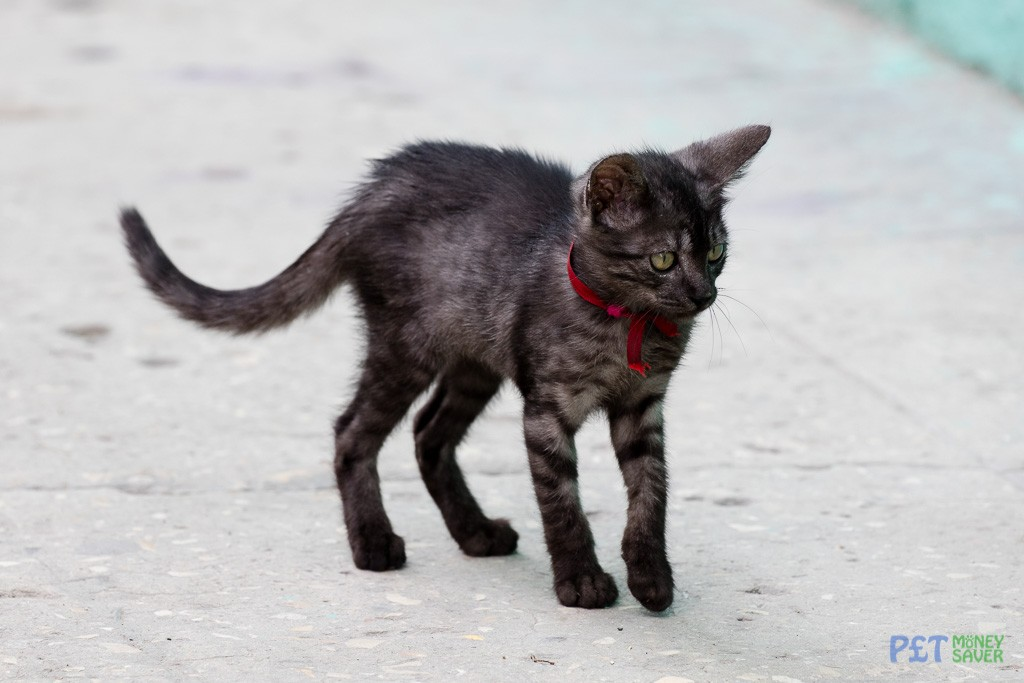Grey and black kitten with ribbon collar