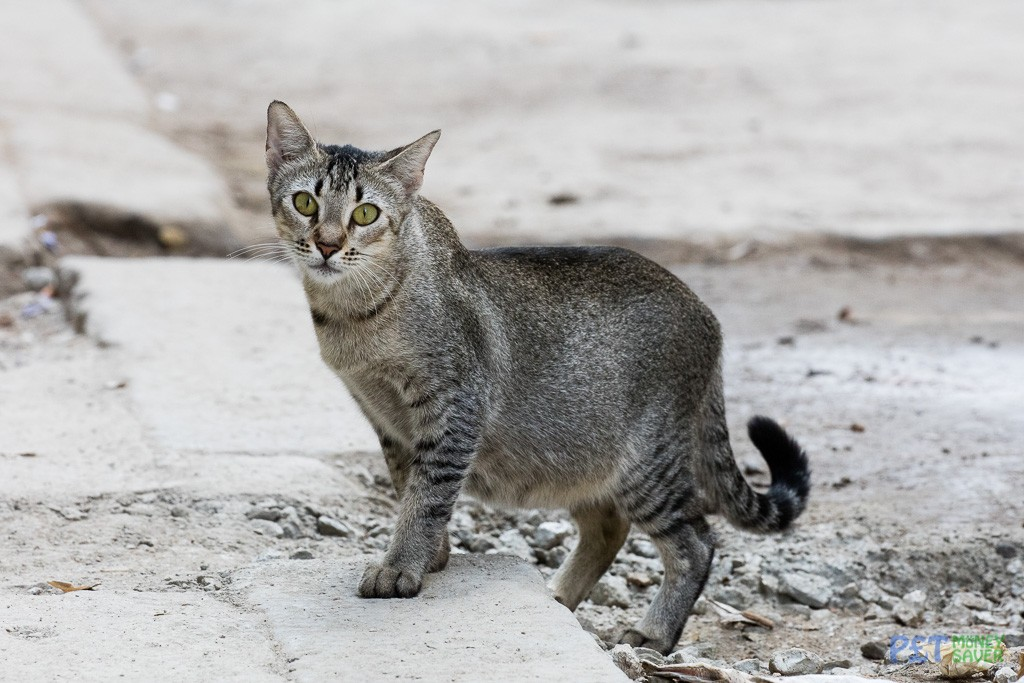 Grey tabby cat on Havana street