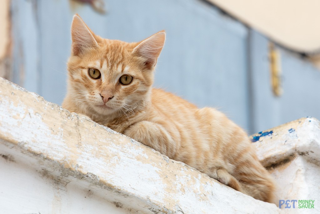 Ginger cat looks down from a wall