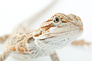 Pet Insurance for Lizards, Tortoises and other Reptiles