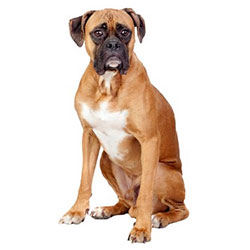 Compare prices for Boxer Dog food